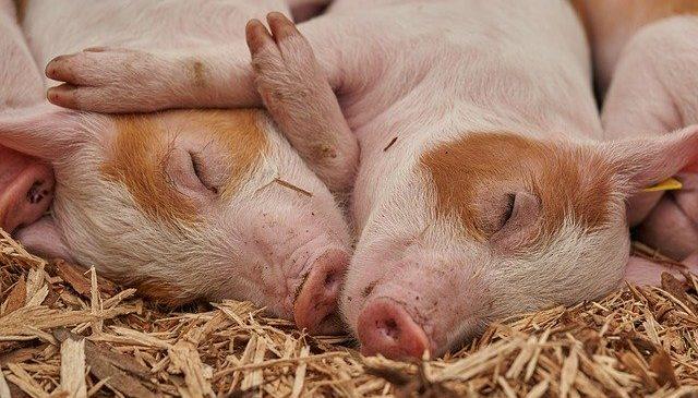 Vírus matou milhões de suínos na China e Europa