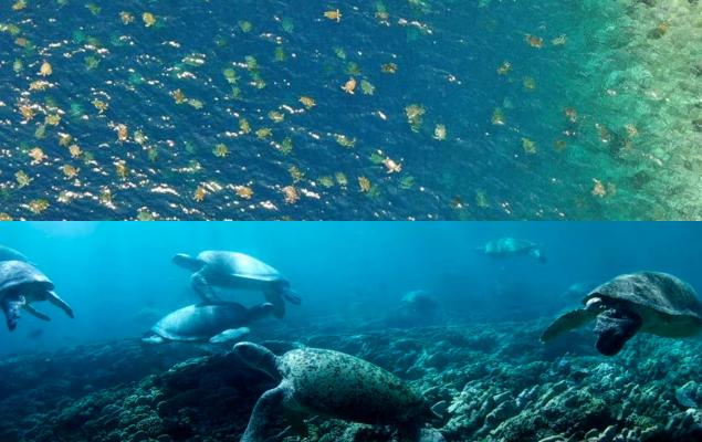 Drone registra mais de 60 mil tartarugas de espécie em extinção