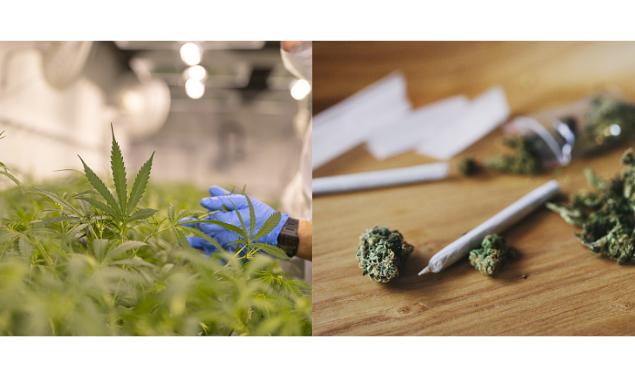 """OMS remove a Cannabis (maconha) da lista de """"Drogas"""""""